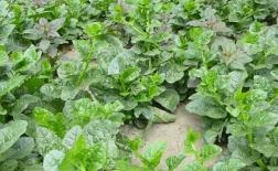چگونه دانه های اسفناج را بکاریم