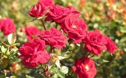 روش کاشت دانه گل رز و پروراندن آن