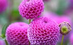 روش کاشت گل کوکب