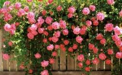 روش کاشت گل رز رونده