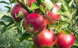 روش کاشت درخت سیب