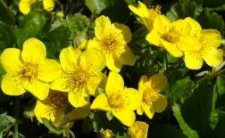 روش کاشت گل آلاله