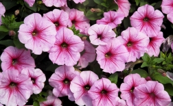 روش کاشت گل اطلسی