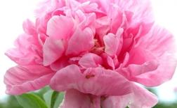 روش کاشت گل صد تومانی