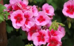 روش کاشت گل شمعدانی