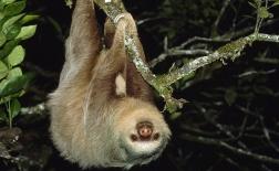 تنبل دو پنجه ای |Two-Toed Sloth