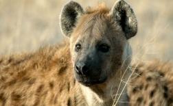 کفتار خال دار | Spotted Hyena