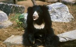خرس تنبل |Sloth Bear