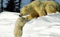 خرس قطبی | Polar Bear