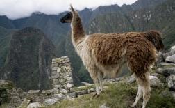 شتر بی کوهان آمریکای جنوبی | لاما | LLAMA