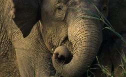 فیل آسیایی | Asian elephant