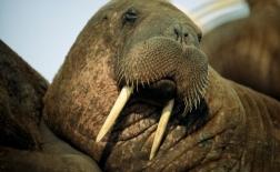 گراز دریایی |Walrus