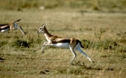 غزال تامسون |Thomson's Gazelle