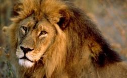 شیر آفریقایی | African lion