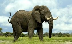 فیل آفریقایی   African elephant