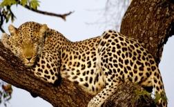 پلنگ | Leopard