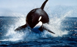 نهنگ قاتل | Killer Whale