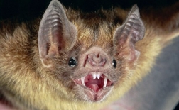 خفاش خون آشام | Vampire Bat