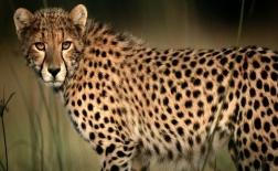یوزپلنگ | Cheetah