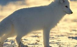 روباه قطبی |Arctic Fox