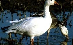 غاز برفی | Snow Goose
