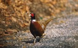 قرقاول گردن حلقه ای | Ring-necked pheasant