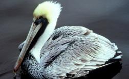 مرغ ماهیخوار | Pelican