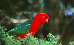 طوطی | Parrot