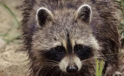 راکون | Raccoon
