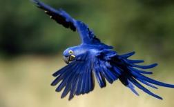 طوطی دم بلند |Macaw