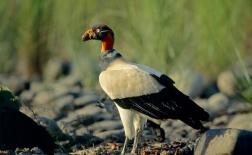 شاه کرکس |king vulture