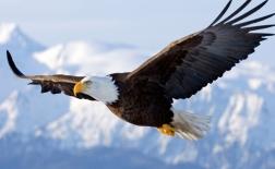 عقاب گر | bald eagle