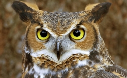 جغد شاخدار بزرگ | Great Horned Owl