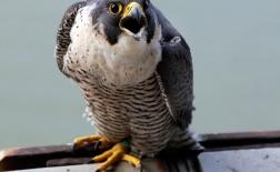 قوش |Peregrine Falcon