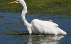 حواصیل بزرگ | Great Egret