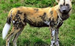 سگ وحشی آفریقایی |African Wild Dog
