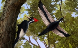 دارکوب منقار عاجی | ivory-billed woodpecker