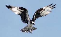 عقاب دریایی | همای استخوان خوار | Osprey
