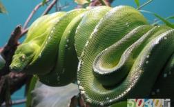 مار آناکوندای سبز