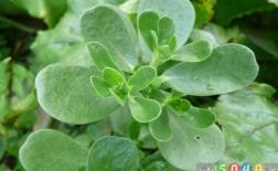 خرفه: سبزی مغذی قدرتمند