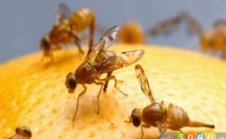 چه چیزی باعث هجوم مگس میوه به خانه میشود
