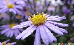 گل ستاره ای ( گل ستاره ایان)