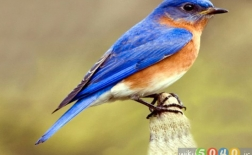 پرنده آبی