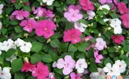 گل حنا یا ایمپاتیانس