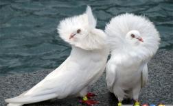 10 کبوتر کمیاب و عجیب در جهان