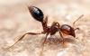 روش درمان نیش مورچه های آتشی