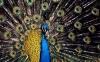 طاووس | Peacock