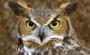 جغد شاخدار بزرگ   Great Horned Owl