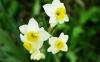 چگونه گل نرگس بکاریم