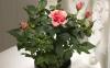 روش پرورش گل رز در گلدان